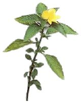 DAMIANA has been used to relieve anxiety, nervousness, and mild depression, especially if these symptoms have a sexual component. The herb is also used as a general tonic to improve wellness.  Damiana has also been used traditionally to improve digestion and to treat constipation, as in larger doses it is thought to have a mild laxative effect.