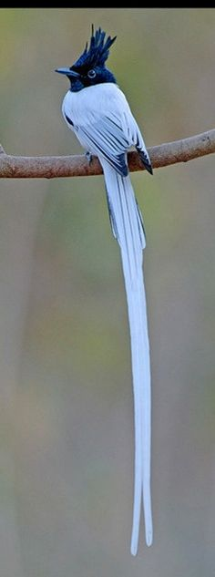 afternoontea7:  Asian Paradise Flycatcher (via Pinterest)