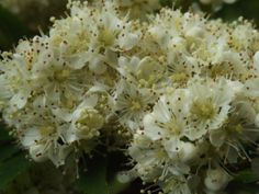 ~The blossoms of the Rowan Tree – Sorbus aucuparia – or Mountain Ash,  grow in small clusters like miniature bridal bouquets, but soon the petals will fall and the scarlet or orange berries will grow~
