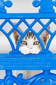 Europe, Greece, Cyclades, Thira, Santorini, Oia, Kitten watching through fence