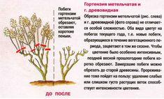 гортензия бобо посадка и уход в открытом грунте: 10 тыс изображений найдено в Яндекс.Картинках