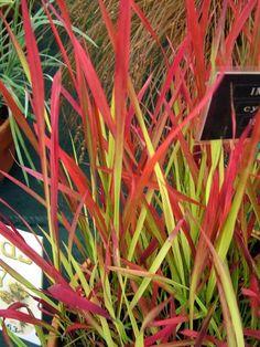Imperata cylindrica 'Rubra' syn 'Red Baron' Westcountry Nurseries http://www.amazon.co.uk/dp/B002TD8AWG/ref=cm_sw_r_pi_dp_SA5kwb0899R00