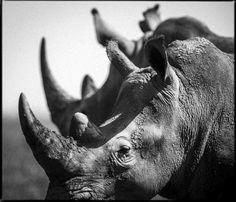 Rhino-Baheux-44324