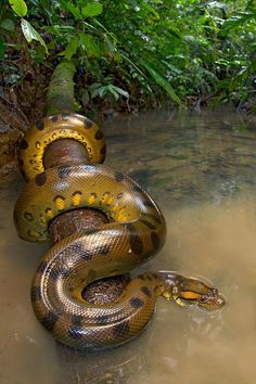 A worldgorger dragon... that's what you can find when paddling with a dugout canoe through the rivers of Ecuador's Yasuni National Park. The dragon is known as the Green Anaconda (Eunectes murinus). Photo by Alejandro Arteaga