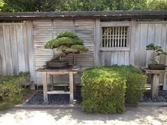 Bonsai garden. Bonsai Plants, Bonsai Garden, Garden Art, Garden Design, Garden Ideas, Small Japanese Garden, Rubber Tree, Heuchera, Edible Garden