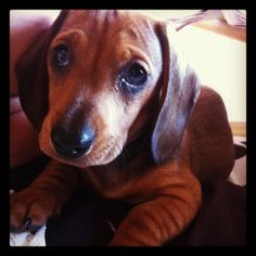 F.R.A.N.K our beautiful mini sausage dog pup