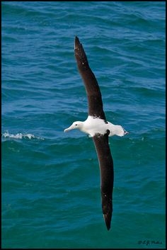 The northern royal albatross may be a high flyer, but are currently experiencing lower numbers. Considering their wingspan can range up to nearly three metres, these winged goliaths are easily spotted from below.