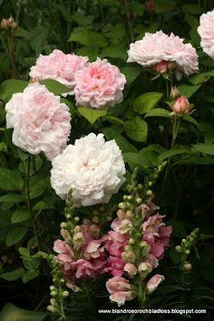 Rosor & Lejongap! Trädgård  Bland rosor och bladlöss