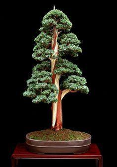 "Juniperus meyerii ""the corkscrew"" created at IBC'91 Convention, in Birmingham"