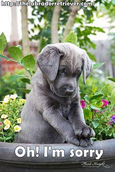 Visit http://thelabradorretriever.com/ for more great info about Labrador retriever #lab #labrador #dog