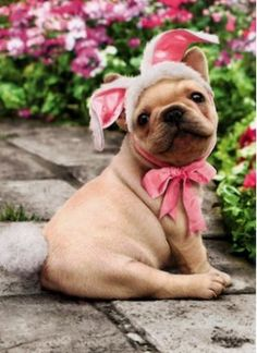 """French Bulldog in Bunny Outfit Easter Card, from Dogstuff.com. A cream French Bulldog puppy is dressed in pink bunny ears and a cotton tail! Inside reads: """"There's no bunny sweeter than you! Happy Easter"""" Includes envelope."""