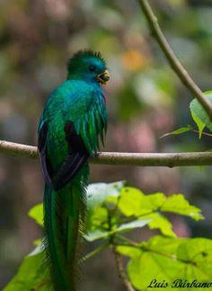 El Quetzal.  Photography by Luis Burbano. Guatemala