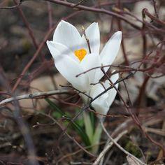 Crocus vernus 'Jeanne d'Arc' (Spring Crocus)