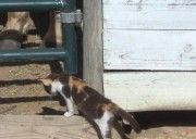 Missing in Conroe, TX- missing short hair calico female cat from Kidd Stables on Kidd Road, Conroe « Texas Lost Pets - 832-746-9525 - 713-854-3579