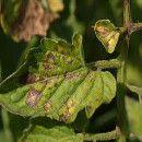Roya y otros hongos en plantas, cómo prevenirlos y tratarlos de forma ecológica ecoagricultor.com