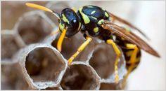 Disinfestazione da vespe e calabroni in maniera sicura ed economica. http://www.bioecologysrl.it/api_vespe_calabroni/disinfestazione_vespe.html