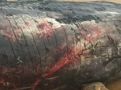 Dead sperm whale washed up earlier this year on Hunstanton beach.