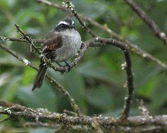 Piura Chat-Tyrant (Ochthoeca piurae) Birding in Peru