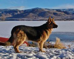 king shepherd dog photo | King Shepherd Dogs and King Shepherd puppies