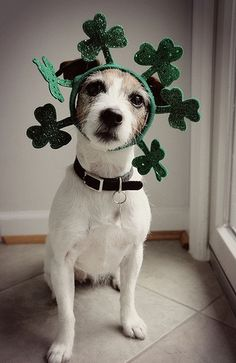 This St. Patrick's Day-ready pup is so cute, you'll feel the luck o' the Irish!