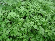Check Out A Few Of These Effective Pest Control Tips - Pest & Insect Control Plants That Repel Flies, Artemisia Annua, Fly Repellant, Insect Repellent, Family Flowers, Cancer Cure, Cancer Cells, Fighting Cancer, Chinese Herbs