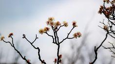 #winter #winterflowers #wintergram  #flowerstalking #wp_flower #whiteplumblossoms #白梅