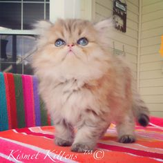❤️Kismet Kittens: For Golden Chinchilla Shaded Doll Face Persian Kitten with Green Eyes Female Ready to Go: 5/15/15 To Reserve: Text: 813-409-8418 Email: Persiankittyinfo@aol.com Web: www.KismetKittens.com Shipping Available 1 Year Health Guarantee 1 St. Vaccines Health Certificate Professional, Experience, Knowledgeable Breeder #teacupkittensforsale, #persiankittens, #chinchillashaded, #dollface, #catbreeders, #florida, #toykittens, #kittens, #pet
