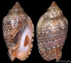 Voluta musica laevigata - these seashells look like someone inked in musical notes.
