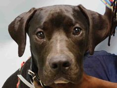 SAFE - 08/18/15 - TALL MAN - #A1047127 - Urgent Brooklyn - MALE BLACK/WHITE PIT BULL MIX, 7 Mos - OWNER SUR - EVALUATE, NO HOLD Reason, PERS PROB - Intake Date 08/08/15 Due Out 08/08/15