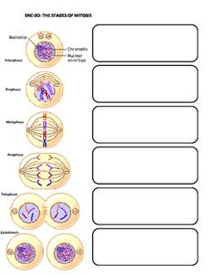 Diagram sheet that helps students take notes about the major phases of mitosis Biology Classroom, Biology Teacher, Ap Biology, Science Biology, Teaching Science, Science Activities, Science Penguin, Physical Science, Earth Science