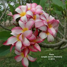Paris: A nice pink-white plumeria that blooms very well, producing nice, consistent clusters.