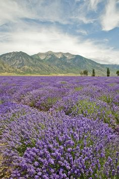 Lavender Fields at Young Living Farms (Mona, Utah) by Tom Kelly