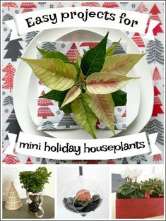 Buy Flowers Online Same Day Delivery Easy Festive Projects For Mini Holiday Houseplants Jade Plants, Orchid Plants, Frosty Fern, Orchid Plant Care, Plants That Repel Bugs, Blooming Orchid, Buy Flowers Online, Plant Cuttings, Propagation