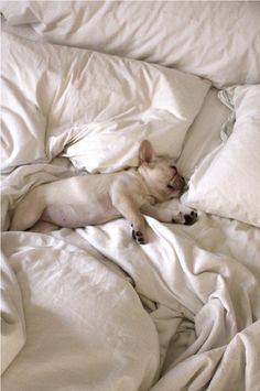 why are french bulldogs so adorable?
