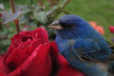 Roses forum: Tradescant Rose and Indigo Bunting (All Things Plants)