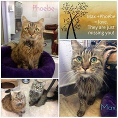 Meet Max and Phoebe, 13-year-old siblings and that have been together since birth. Not only are these two siblings but they're the best of friends too. Please help to make their dream of finding a home together a reality, spread the word or come meet them! This darling duo has been homeless for more than two months and in order to help them find their forever home the adoption fee will be waived. They are looking for a quieter, indoor only home without any other animals. Click pic for detail...