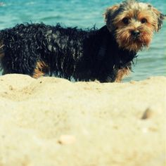 after he was swimming :) cutest dog yorkie france sea water beach ginger hair chien cute