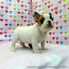 ZSA ZSA Pups ~ AKC French Bulldog Puppies for Sale ~ AKC French Bulldog Breeders ~ Oregon French Bulldogs