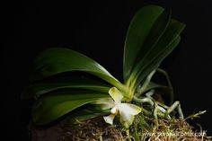 Phalaenopsis micholitzii flowering