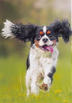 Cavalier King Charles Spaniel – Graceful and Affectionate Spaniel Breeds, Spaniel Puppies, Cocker Spaniel, Dog Breeds, Cavalier King Charles Spaniel, King Charles Puppy, Dog Quotes Funny, Dog Memes, Funny Dog Photos