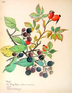 Fruit Print - Fruit of Dog Rose and Blackberry  - 1970's Vintage Print - Book Plate Page.
