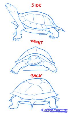 how to draw a turtle | how to draw turtles step 2
