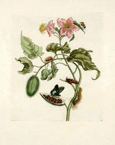 Maria Sibylla Merian - Pink Flowered Rocu - 1719. From Metamorphasibus Insectorum Surinamensis