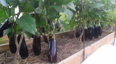 8 полезных советов по выращиванию баклажанов