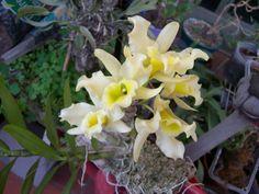 Orchid Dendrobium nobile yellow