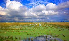 Entre tanta naturaleza, los arrozales són un dominio humano-El Delta del Ebro(Tarragona)