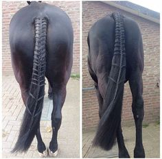 Beautiful braiding but he has bowed hocks poor horse