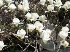 There are over a hundred magnolia species and hundreds of varieties. Images shown and descriptions of gardening requirements Evergreen Shrubs, Flowering Shrubs, Deciduous Trees, Magnolia Soulangeana, Temple Gardens, Edible Oil, Specimen Trees, Root System, Photo Tree