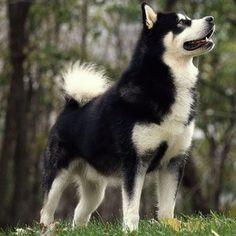 Alaskan Malamute – Large Dog Breed profile