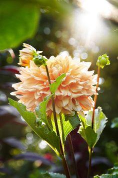 The Secrets of Growing Dahlias
